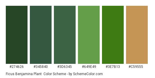 Ficus Benjamina Plant - Color scheme palette thumbnail - #274626 #345840 #3D6345 #649E49 #3E7B13 #C59555