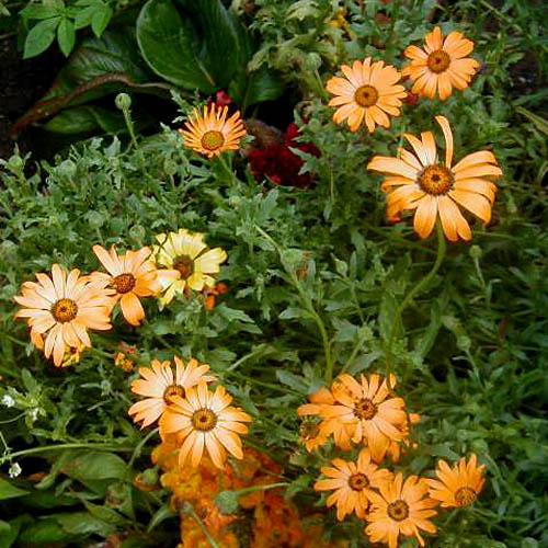 African Daisy Flower Color Scheme Flowers Schemecolor Com