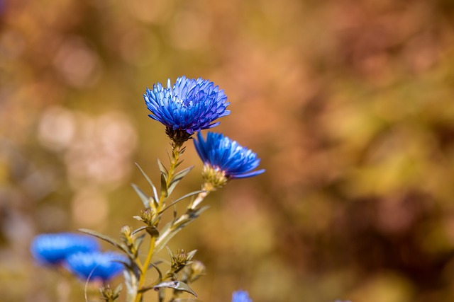 Blue Asters color schemes