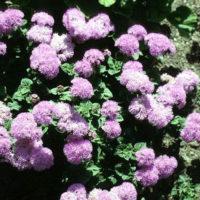 Ageratum Annual Flower colors