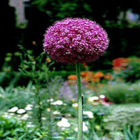 Allium, Giant flower colors