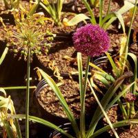 Allium Purple Flower