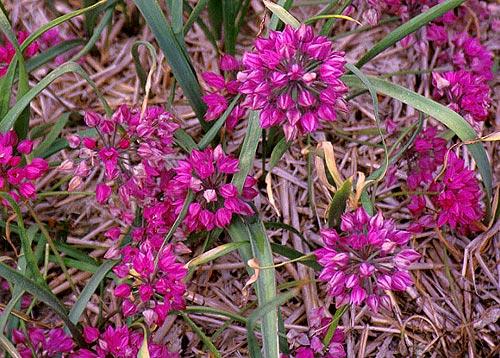 Alpine Rosy Bells flower colors