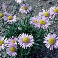 Aster Alpine flower colors