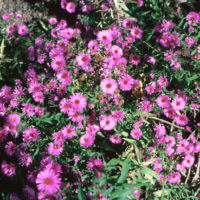 Aster, New England flower colors