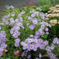 Aster, Frikart flower colors