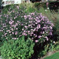 Aster, New York flower colors