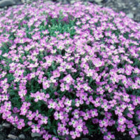 Aubrieta flower colors