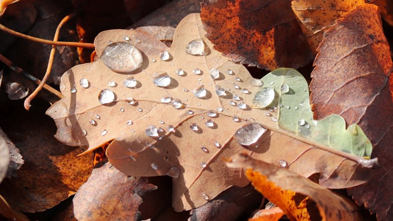 Autumn rain with water droplets on a leaf