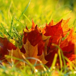 Tuft of autumn colored leaves on green grass