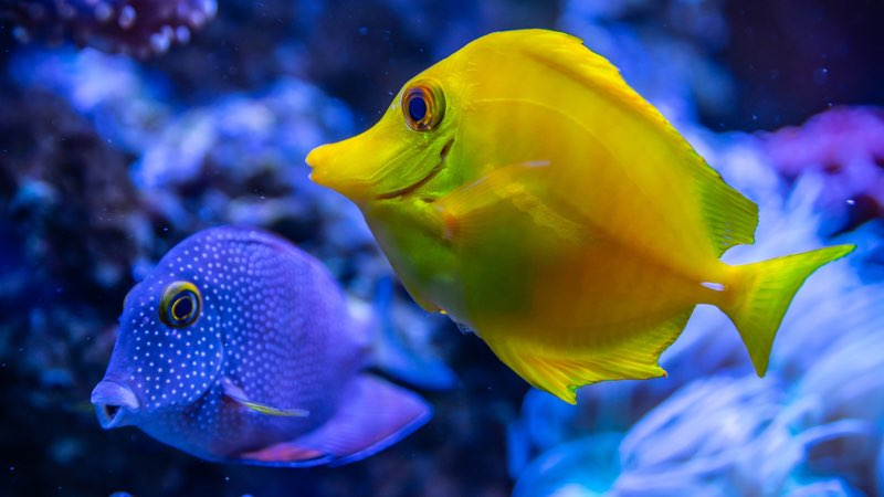 Blue and yellow fishes