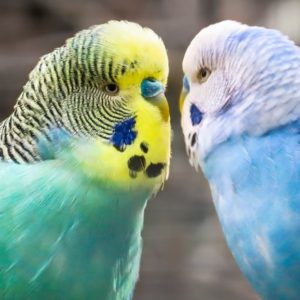 Budgies (budgerigar) birds - Parakeets