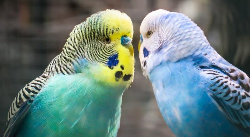 Budgies (budgerigar) birds - Parakeets