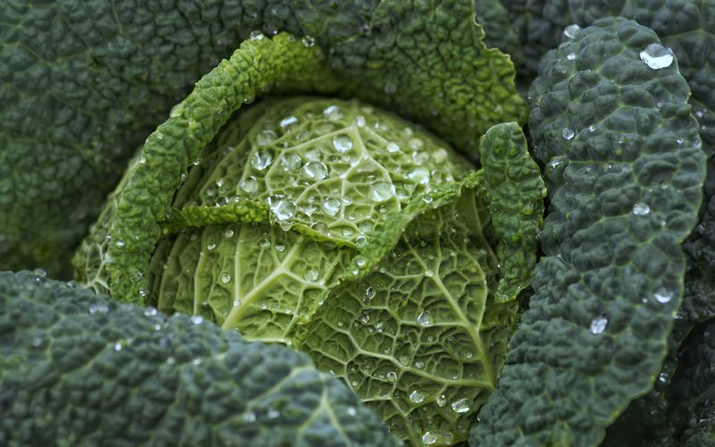 Shades of green color of cabbage