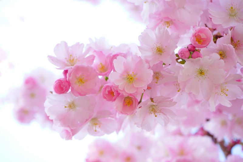 Cherry Blossom Pink Flowers