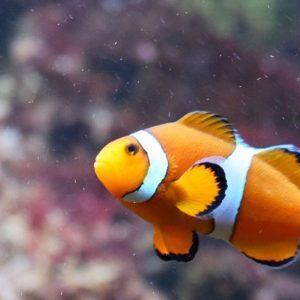 Clown Fish orange