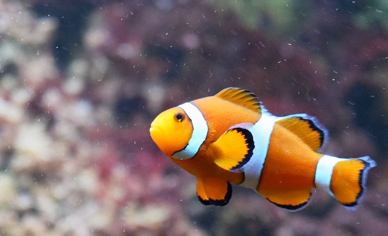 Clown Fish orange