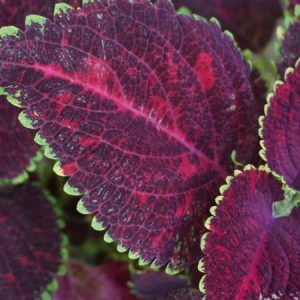 Colorful leaves of the coleus plant