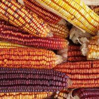 Colors of Corn