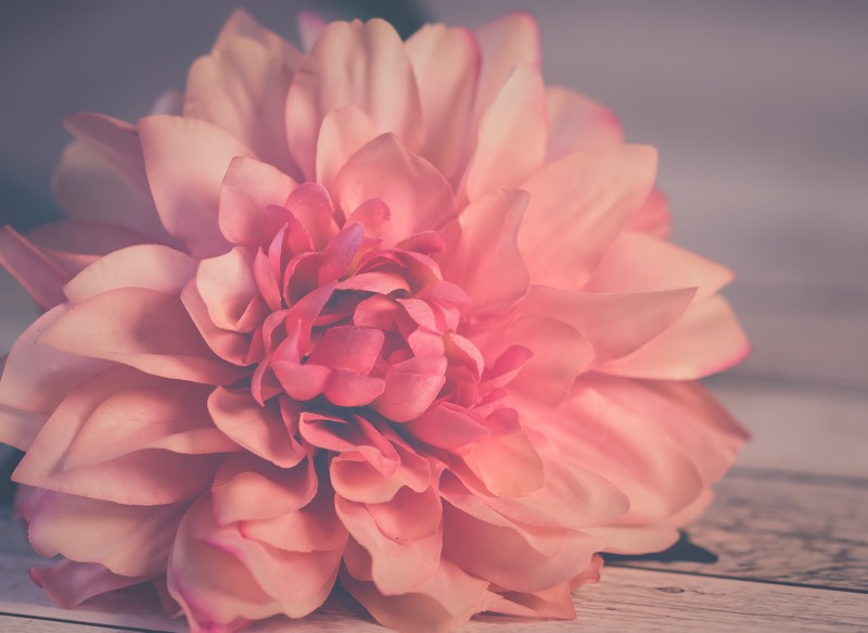 Dull Pink Dahlia