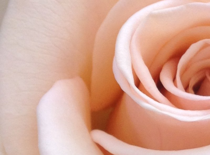Peach colored dusty rose