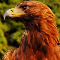 Eagle Bird colors