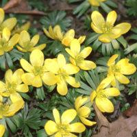 European Winter Aconite flower - yellow colors combinations