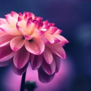 Dahlia flower in a dark composition