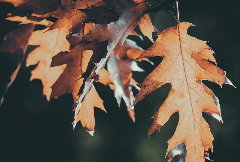 Faded leaves of fall season