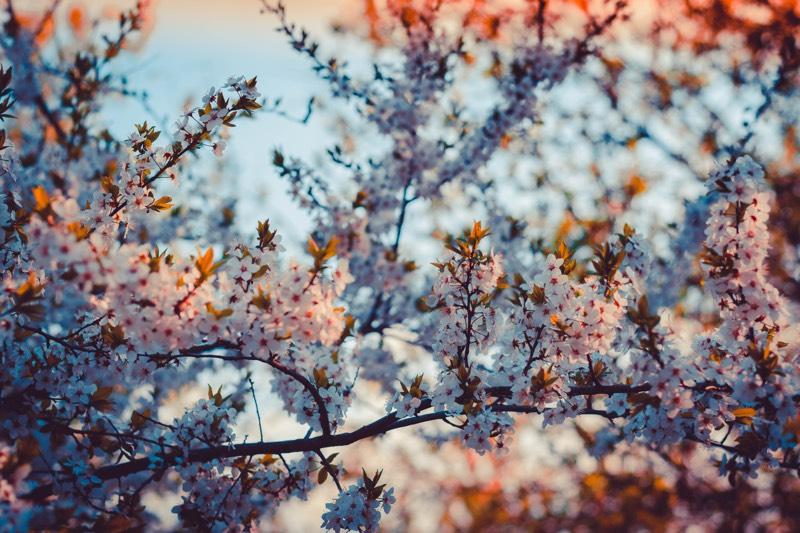 Filtered Cherry Blossom