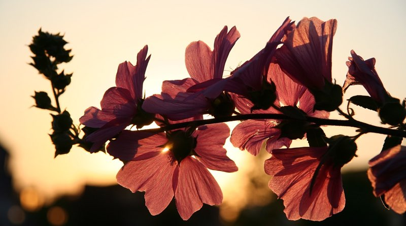 Flowers against a sunset