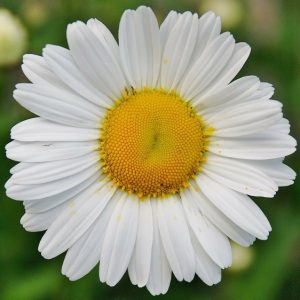 Fresh Daisy Flower