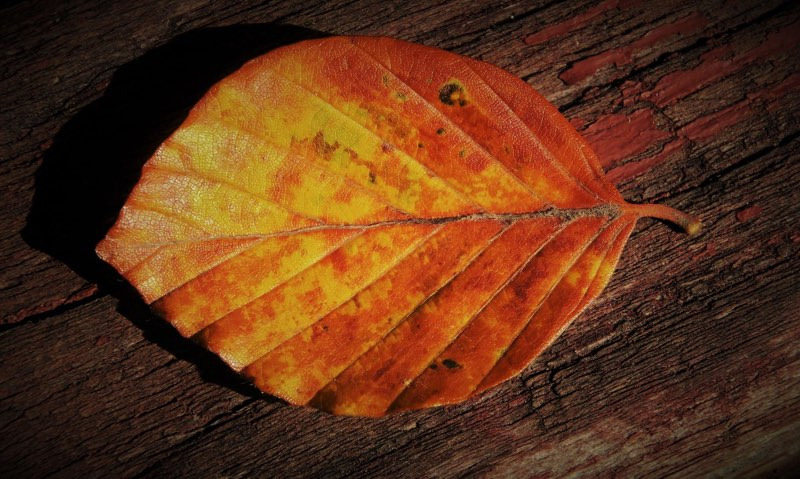 Autumn leaf with yellow, gold and orange, red colors