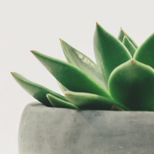 Gray Potted Succulent