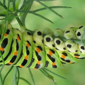 Green colored caterpillar of dove-tailed butterfly