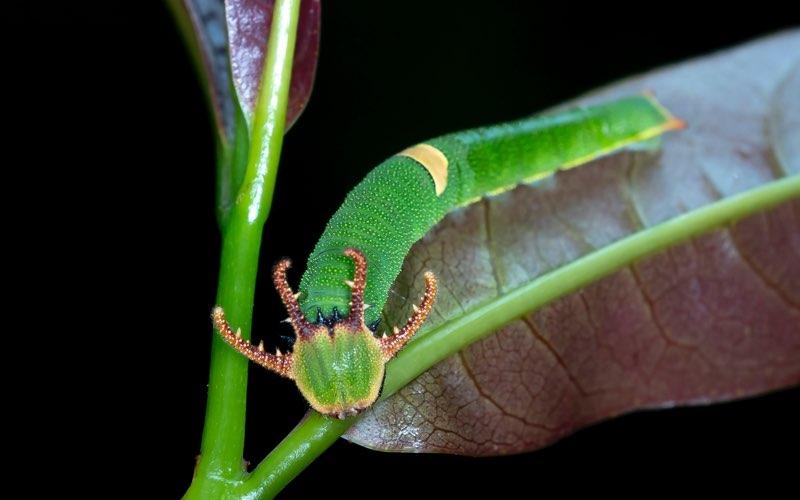 Green horned caterpillar