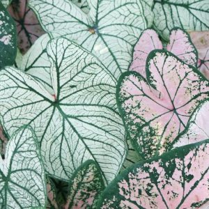 Green and pink colored leaves