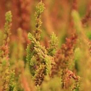 Heide plants