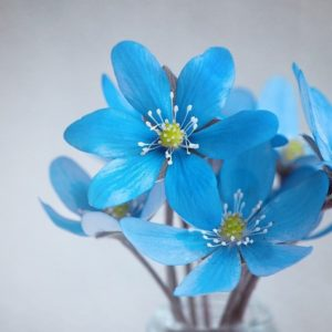 Hepatica Blue Flowers