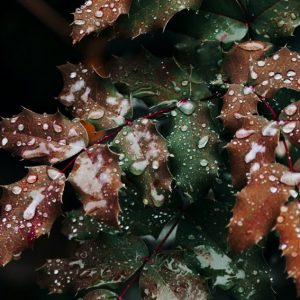 Holly leaves in winter