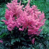 Hybrid Astilbe flower colors