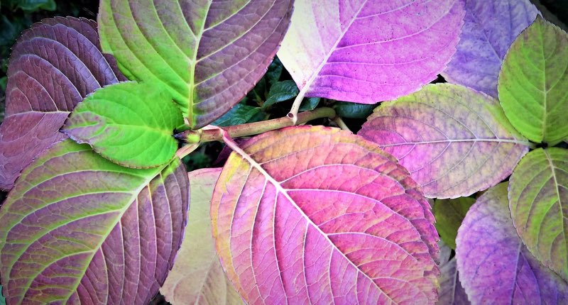 Colorful Hydrangea Leaves