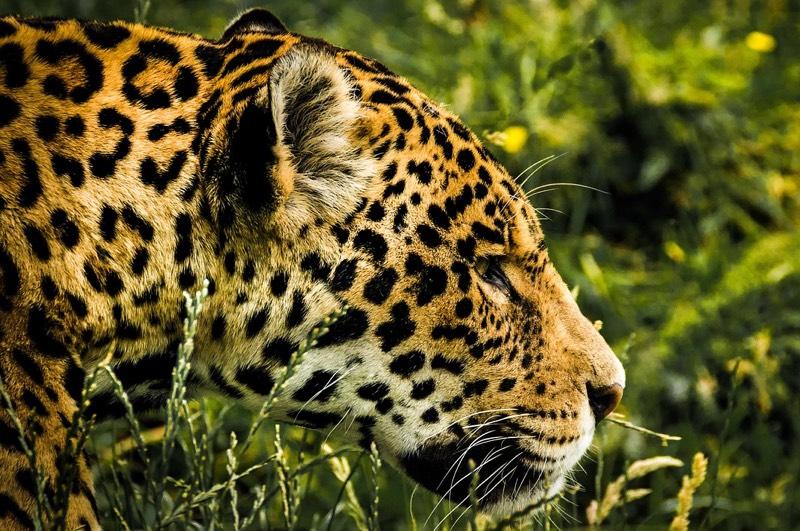 Jaguar Stakling