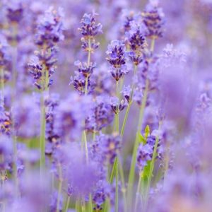 Field of lavender flowers