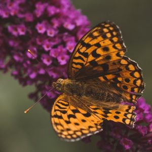Orange-colored butterfly on lilac flowers