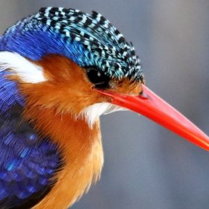 Little kingfisher bird
