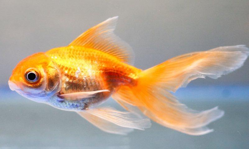 My Goldfish