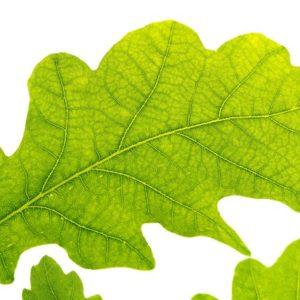 Oak Leaf - Green
