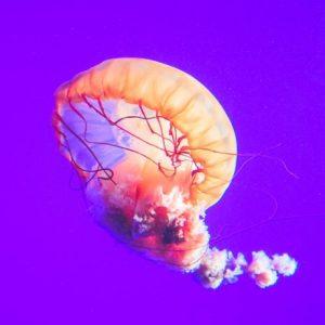 Orange Jellyfish