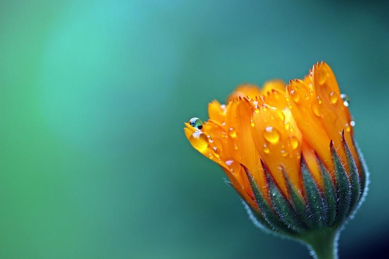 Orange Marigold Calendula